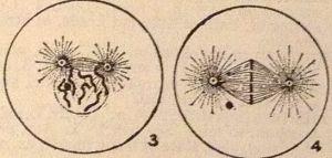 mitosis34