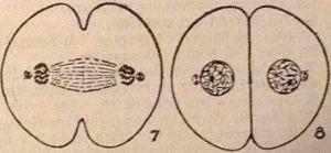 mitosis78