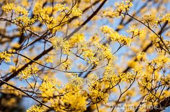 closeup-branches-yellow-blossoms-japanese-cornelian-cherry-tree-selective-focus-30005768